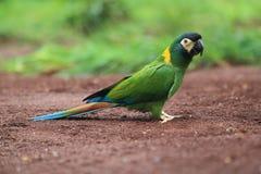 Gouden-collared ara stock afbeeldingen