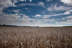 Gouden cornfield Stock Foto's