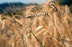 Gouden cornfield in een zonnige dag stock fotografie