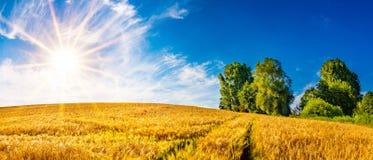 Gouden cornfield op een zonnige de zomerdag royalty-vrije stock afbeelding