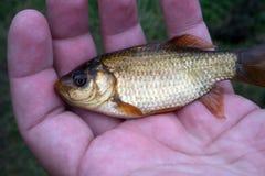Gouden crucianvissen in de hand De zomer visserij stock afbeeldingen