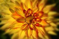 Gouden Dahlia Royalty-vrije Stock Afbeeldingen