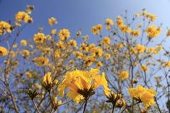 Gouden de bloembloesem van de trompetboom in noordelijk Thailand stock foto's