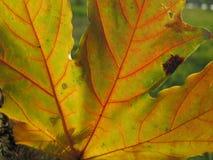 Gouden de herfst en esdoornblad Stock Foto's