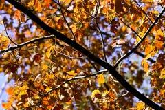 Gouden de herfstbladeren stock foto