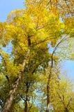 Gouden de herfstbladeren Stock Afbeeldingen