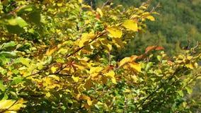 Gouden de herfstbladeren die op de wind golven stock videobeelden