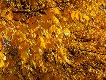 Gouden de herfstbomen Royalty-vrije Stock Fotografie