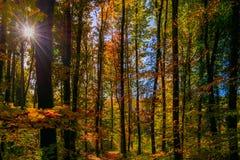 Gouden de herfstlicht door de gekleurde bladeren in het bos Royalty-vrije Stock Foto's