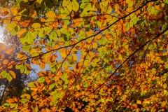 Gouden de herfstlicht door de gekleurde bladeren in het bos Royalty-vrije Stock Afbeeldingen
