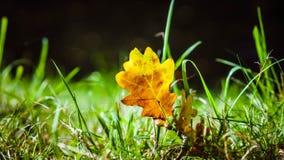 Gouden de winterzon op goud bevroren blad in gras Stock Fotografie