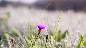 Gouden de winterzon op recent de herfstgras en bloem met dauw Stock Foto