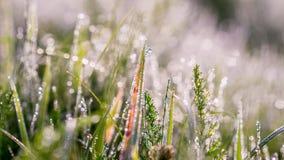 Gouden de winterzon op recent de herfstgras met dauw Stock Foto