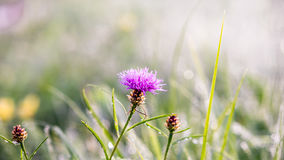 Gouden de winterzon op wazig gras met roze bloem Stock Foto's