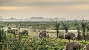 Gouden de winterzon op wazig weideschapen en gras Stock Foto