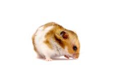 Gouden die hamster op wit wordt geïsoleerd Royalty-vrije Stock Foto's