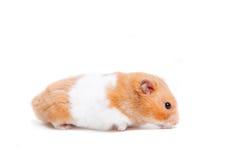 Gouden die hamster op wit wordt geïsoleerd Stock Fotografie