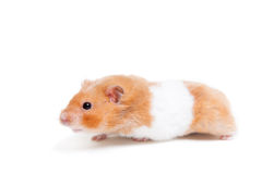 Gouden die hamster op wit wordt geïsoleerd Royalty-vrije Stock Afbeelding