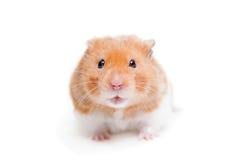 Gouden die hamster op wit wordt geïsoleerd Stock Afbeeldingen