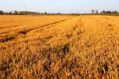 Gouden die kleurenrijst in countryard van Gaoyou-stad, China wordt ingediend Royalty-vrije Stock Afbeelding