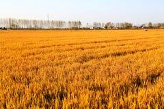 Gouden die kleurenrijst in countryard van Gaoyou-stad, China wordt ingediend Stock Afbeeldingen