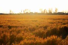 Gouden die kleurenrijst in countryard van Gaoyou-stad, China wordt ingediend Stock Foto
