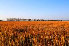 Gouden die kleurenrijst in countryard van Gaoyou-stad, China wordt ingediend Royalty-vrije Stock Afbeeldingen