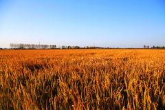 Gouden die kleurenrijst in countryard van Gaoyou-stad, China wordt ingediend Royalty-vrije Stock Foto