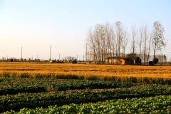 Gouden die kleurenrijst in countryard van Gaoyou-stad, China wordt ingediend Stock Foto's