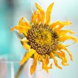 Gouden die zonnebloem in stuifmeel wordt behandeld royalty-vrije stock foto