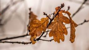 Gouden dode eiken bladeren Stock Afbeeldingen
