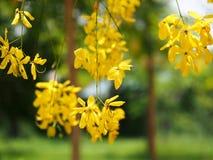 Gouden douche (Kassieboomfistel), gele bloem nationale bloem van Thailand Royalty-vrije Stock Foto's