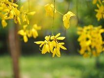 Gouden douche (Kassieboomfistel), gele bloem nationale bloem van Thailand Stock Fotografie