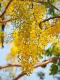 Gouden douche (Kassieboomfistel), gele bloem nationale bloem van Thailand Royalty-vrije Stock Afbeeldingen