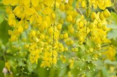 Gouden Douche, Zuiverende Kassieboom (Cassissenfistel Linn) stock afbeeldingen