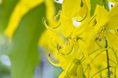 Gouden Douche, Zuiverende Kassieboom (Cassissenfistel Linn) stock fotografie