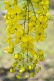 Gouden Douche, Zuiverende Kassieboom (Cassissenfistel Linn) stock afbeelding