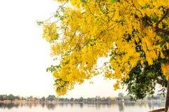 Gouden Douche, Zuiverende Kassieboom (Cassissenfistel Linn) royalty-vrije stock fotografie