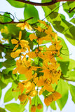 Gouden douchebloemen Royalty-vrije Stock Afbeeldingen