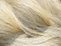Gouden droog gras Stock Foto