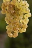 Gouden druiven royalty-vrije stock foto