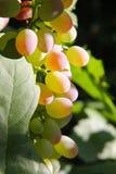 Gouden druiven Stock Foto's