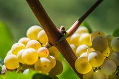 Gouden Druiven op de Wijnstok Stock Afbeelding