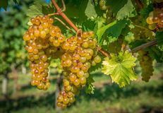 Gouden Druiven op de Wijnstok Stock Foto