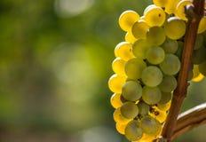 Gouden Druiven op de Wijnstok en de groene bladeren Royalty-vrije Stock Afbeelding