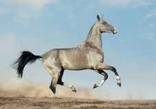 Gouden dun akhal-teke met blauwe ogenlooppas in woestijn stock foto