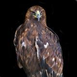 Gouden Eagle (Aquila-chrysaetos) Stock Afbeeldingen