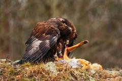 Gouden Eagle, Aquila-chrysaetos, roofvogel met doden rode vos op steen, foto met vaag oranje de herfstbos in backgroun Stock Foto