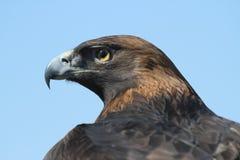 Gouden Eagle Close op Profiel royalty-vrije stock afbeeldingen