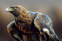 Gouden Eagle Commands Attention Everywhere It gaat royalty-vrije stock afbeelding